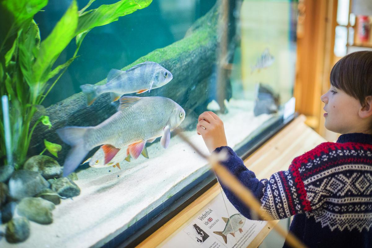 Gutt som ser på akvarier med store ferskvannsfisk