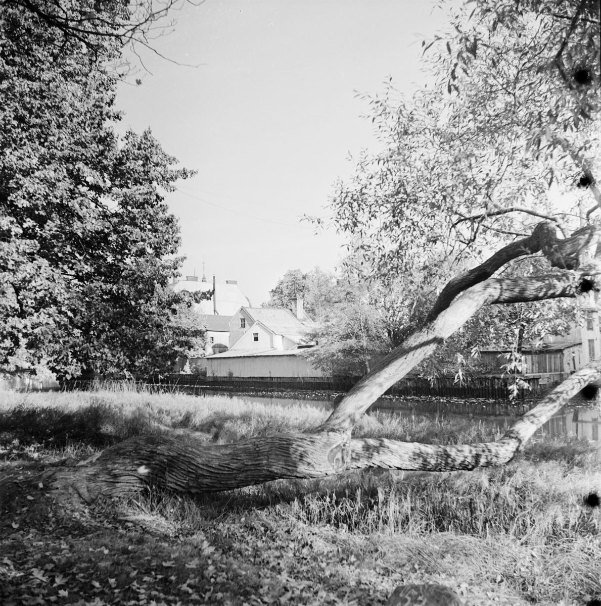 Träd vid Fyrisån med kvarteret Lindormen i bakgrunden, Uppsala