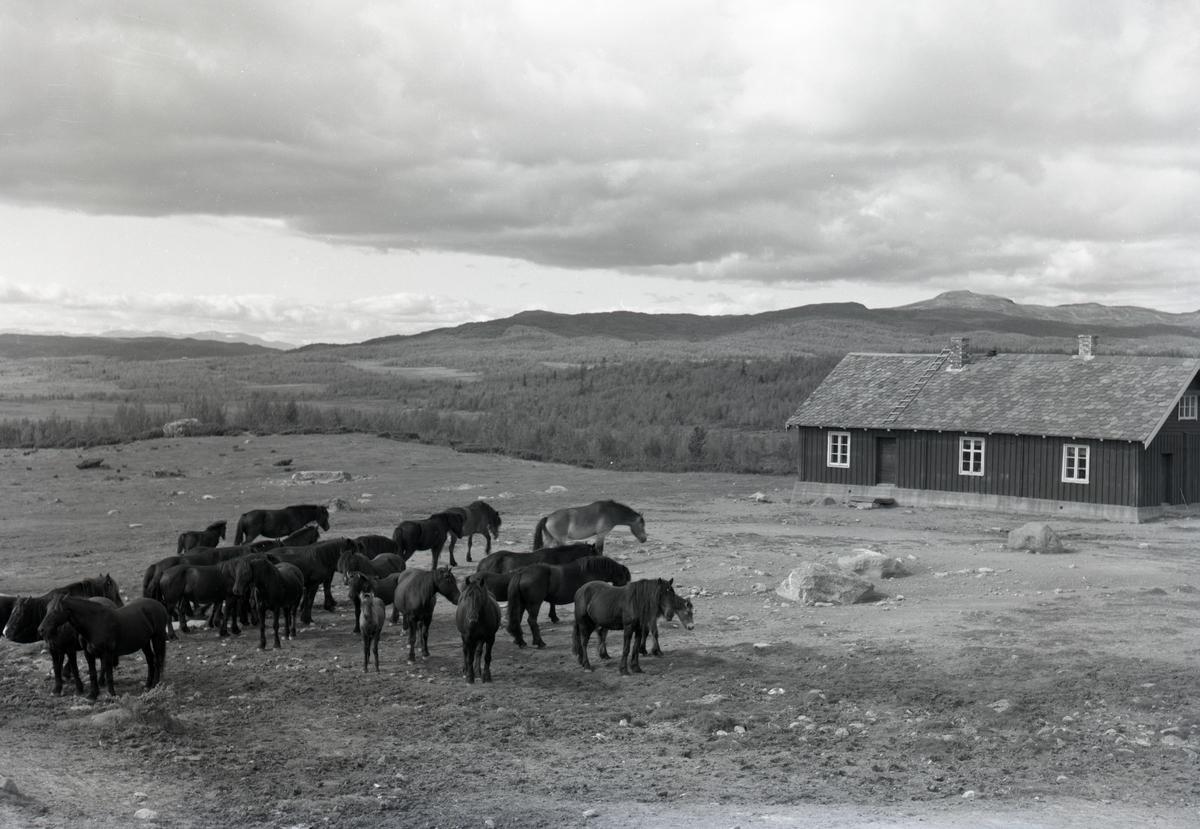 Hesteslipp på Lenningen, Etnedal kommune. Rundt 1960.