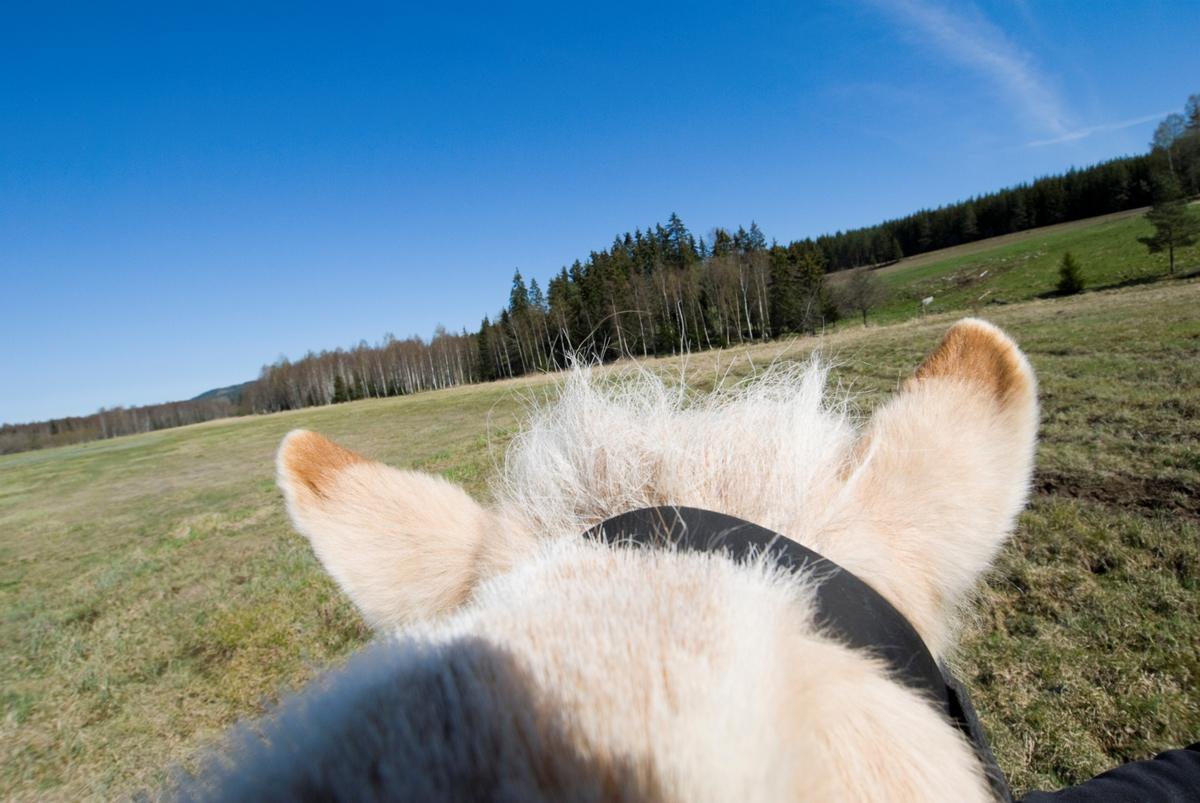 Hesteman og ører på fjordhest