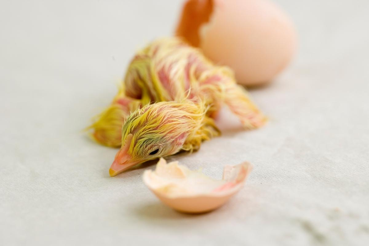 Klekking av hønseegg. Kyllingen er kommet ut av egget