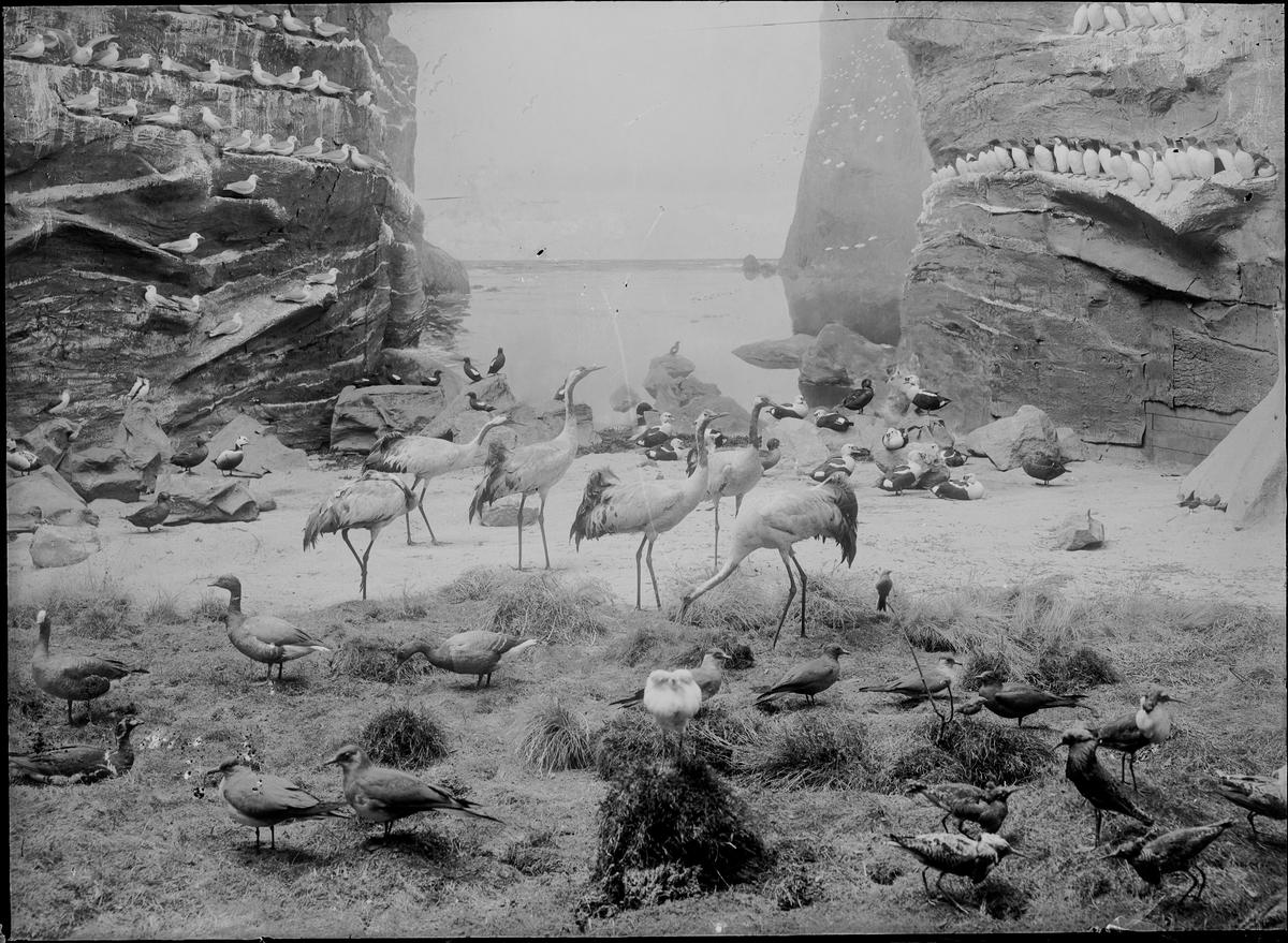 Diorama från Biologiska museets utställning om nordiskt djurliv i havs-, bergs- och skogsmiljö. Fotografi från omkring år 1900. Biologiska museets utställning Trana Grus Grus (Linnaeus) Sillgrissla Uria Aalge (Pontoppidan)