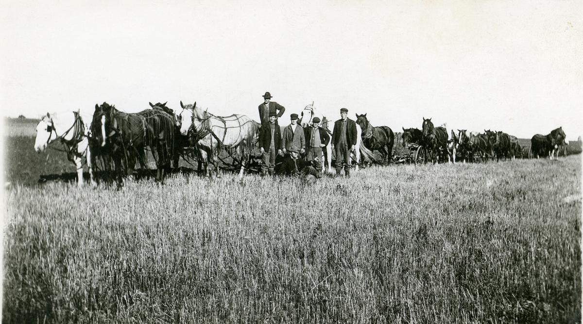 Bildet viser flere spann med hester (ca 20 hester) klare til å pløye på prærien.