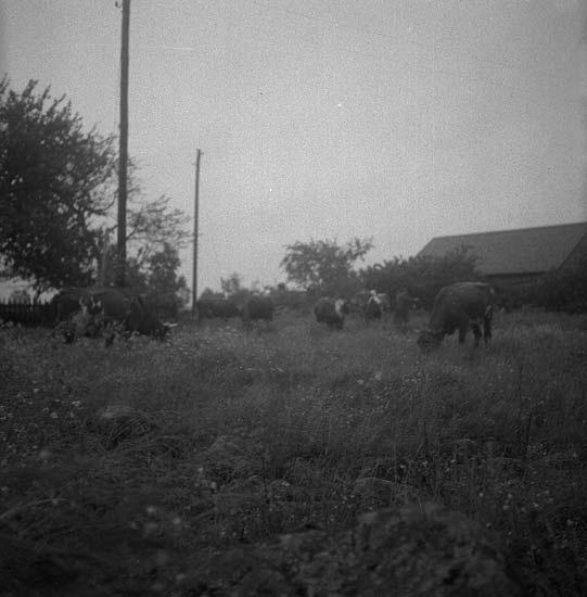 Foto av flera kor som betar gräs på en äng.