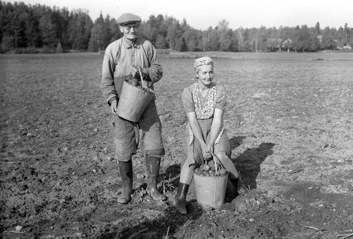 Potatisupptagning i Hille. 26 september 1946. Reportage för Arbetarbladet.