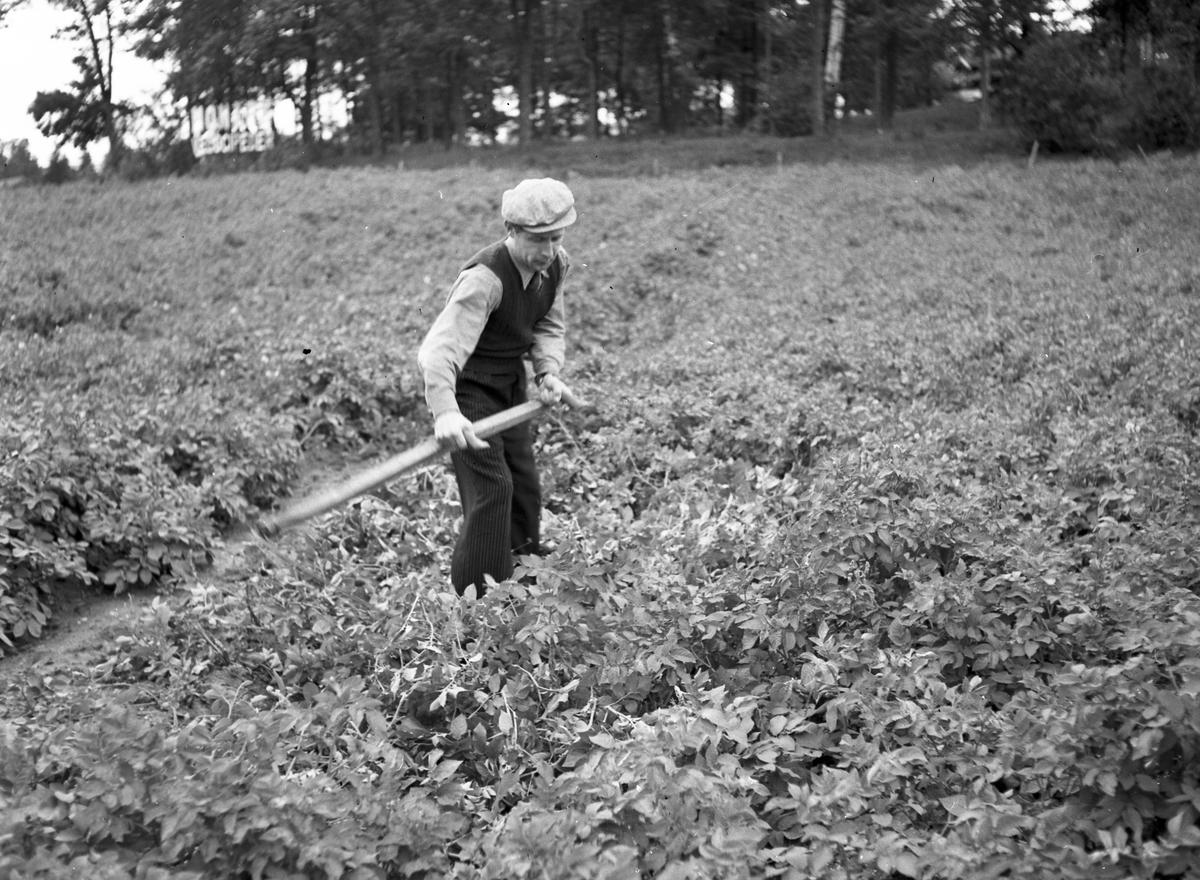 Potatisupptagning vid Brynäs.                        Reportage för Arbetarbladet