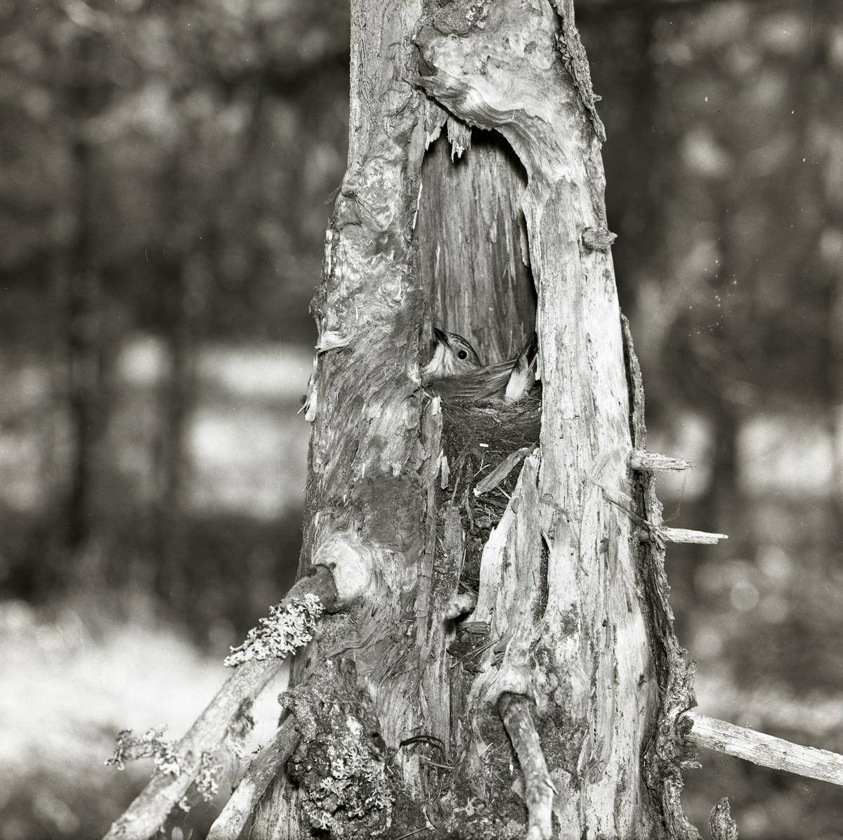 En grå flugsnappare ruvar ägg i sitt bo sommaren 1961. Boet är byggt i en trädstubbe och fågeln tittar ut på fotografen med nyfiken blick.