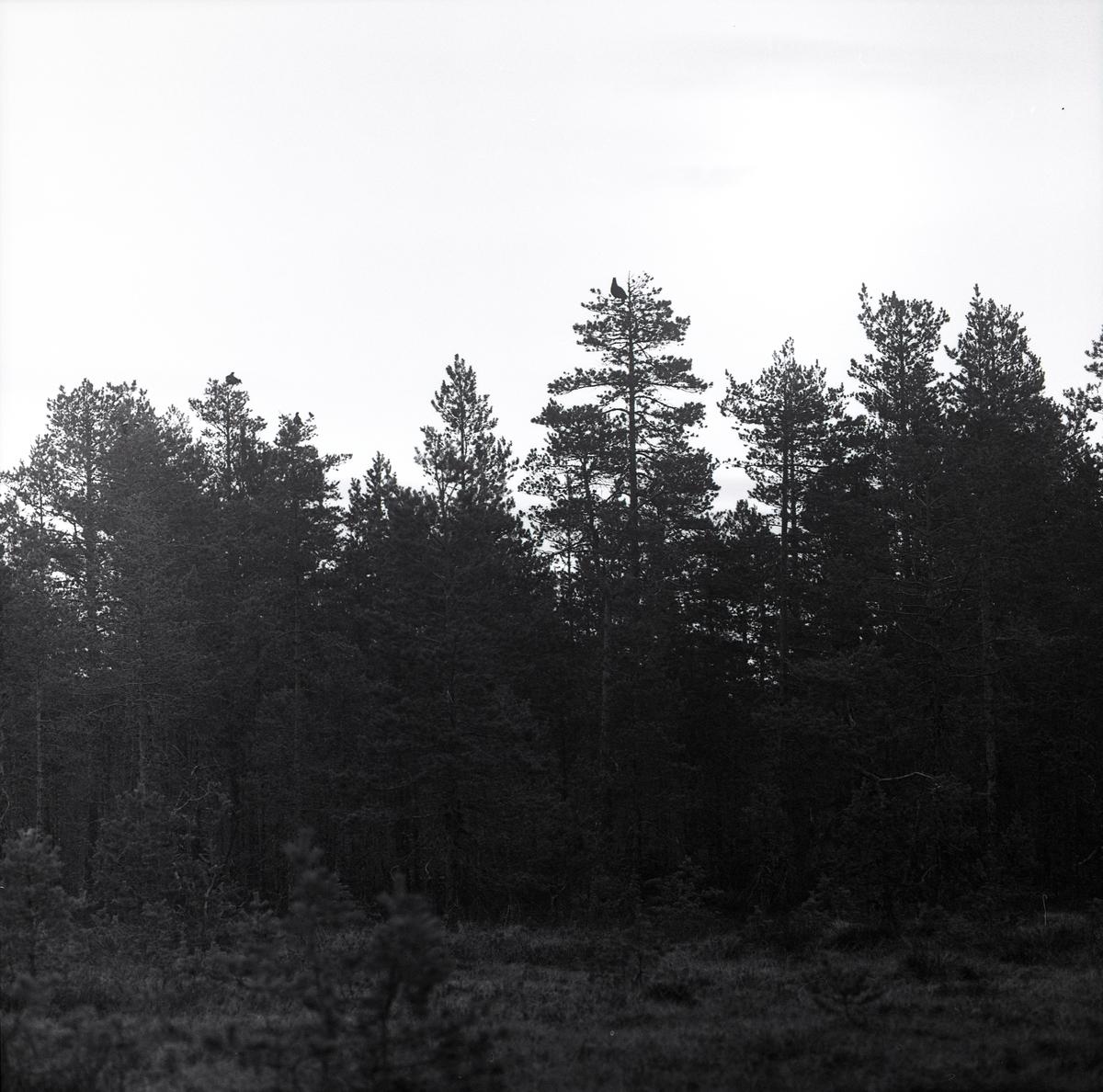 Högt i tallarnas toppar sitter tre tjädrar och tittar ut på omvärlden. Från ett närliggande hygge fotograferas skogen med fågelbesökta träd av Hilding Mickelsson 1962.