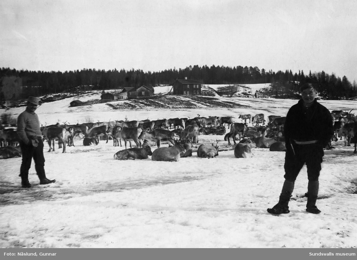 Vy från Öråker med samer och renar på vinterbete.
