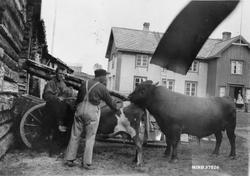 "Oksen ""Lubben"" har ku på besøk. Punnibakken ca. 1940. Marius"