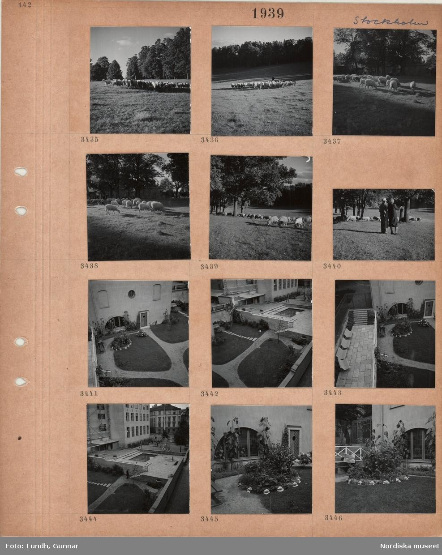 Motiv: Stockholm, en flock får betar på gräsmark, en man föser dem, hus i bakgrunden, en nersänkt liten trädgård framför hus i stadsmiljö, gångväg, gräsmatta, rabatter, bänkar, damm, lekplats i bakgrunden, byggnadsställningar.