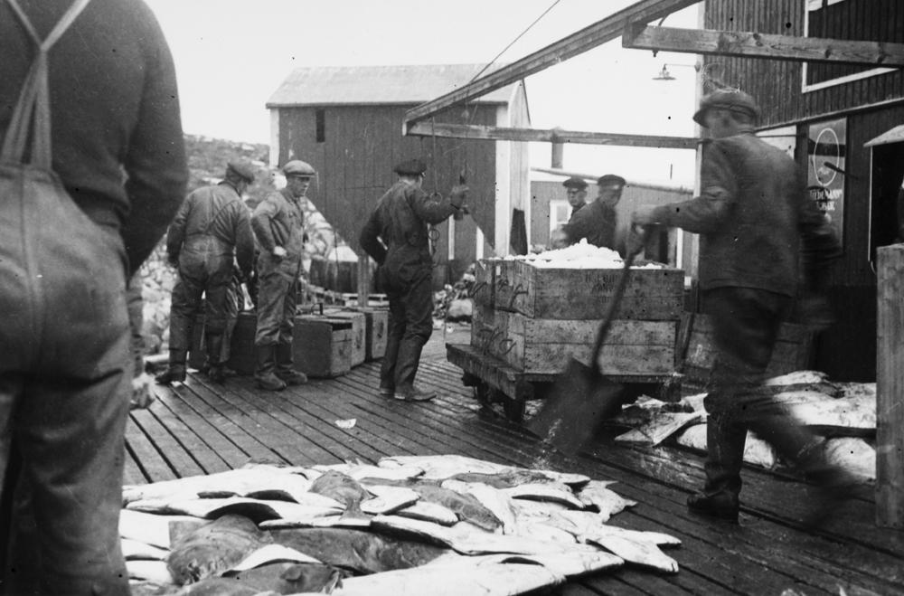 Mottak og ising av fisk, kveite.Mann med spade, kveite på kaia, iskasser m.m.