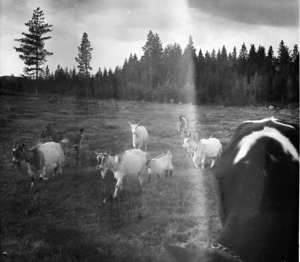 Elin och Holger småbrukare. Björnbacken Oktober 1972