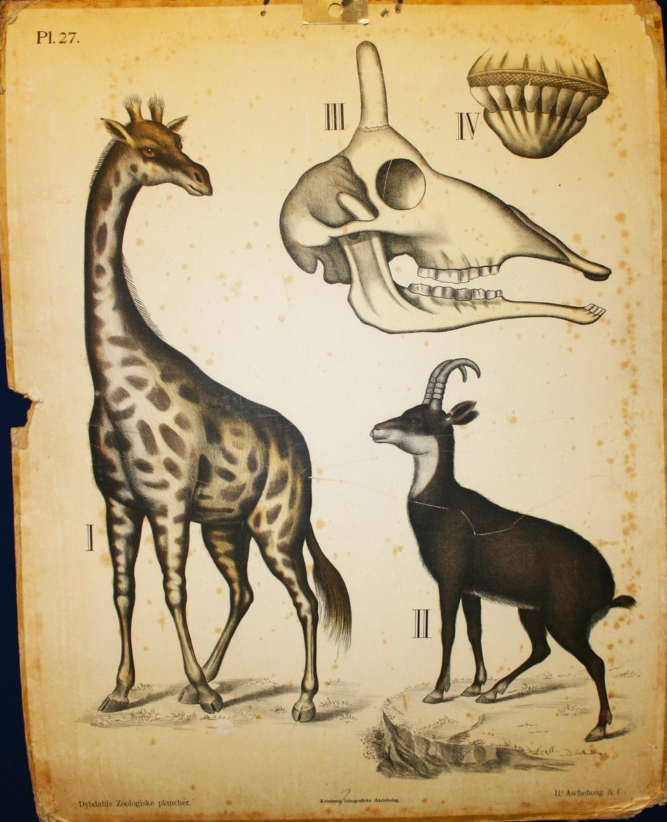 Giraff. Gaselle.