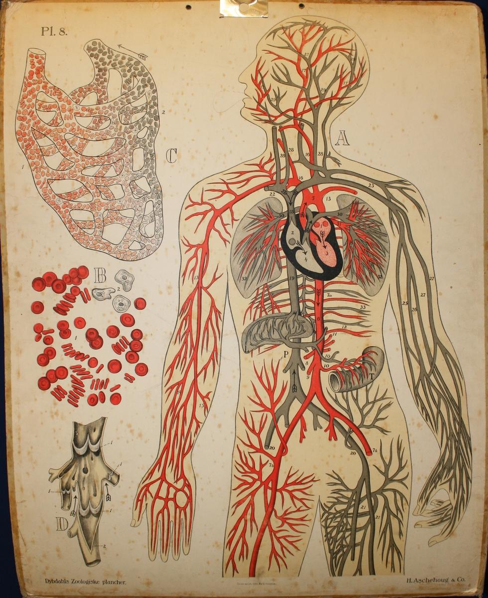 Blodåresystemet.