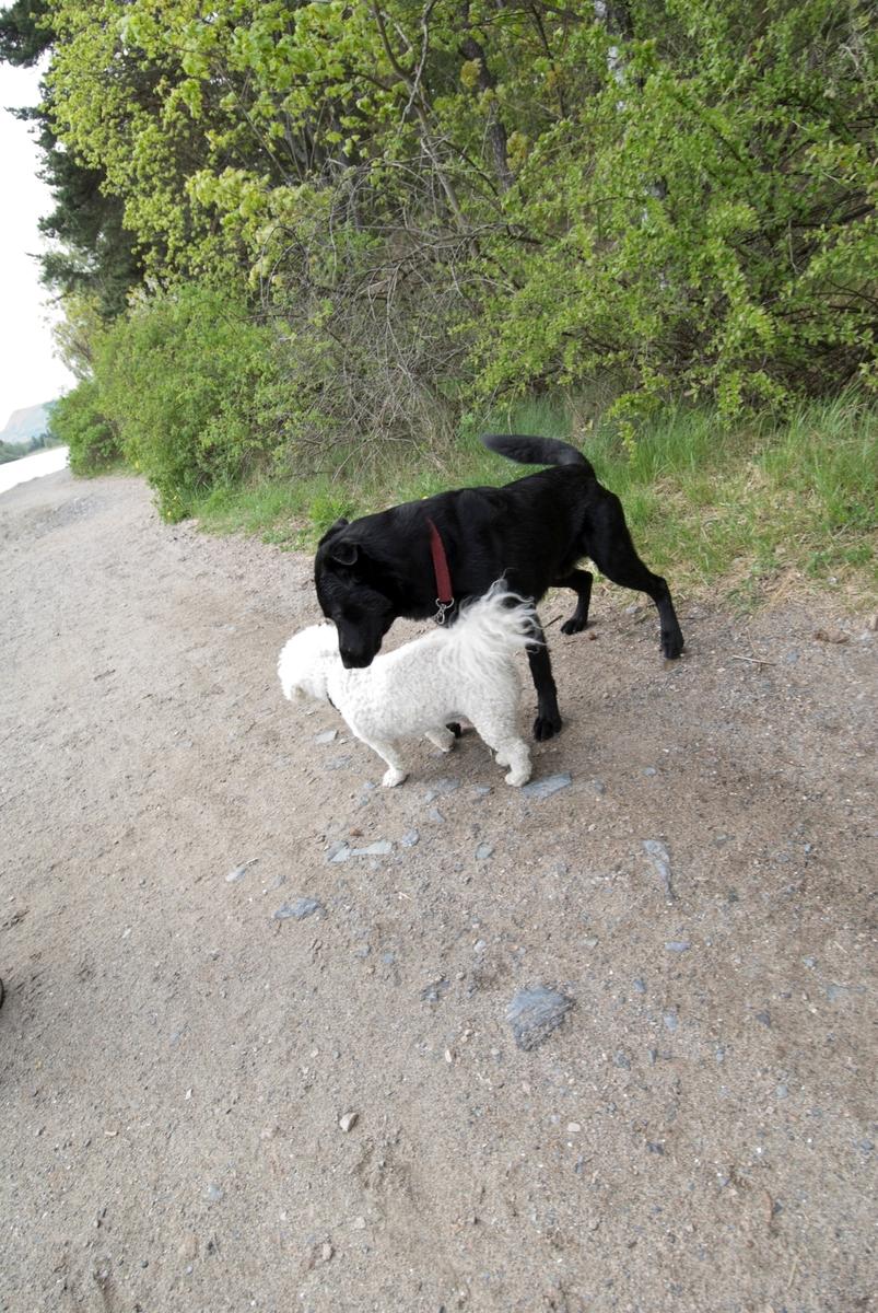 Hunden Chico på tur hilser på en annen hund.