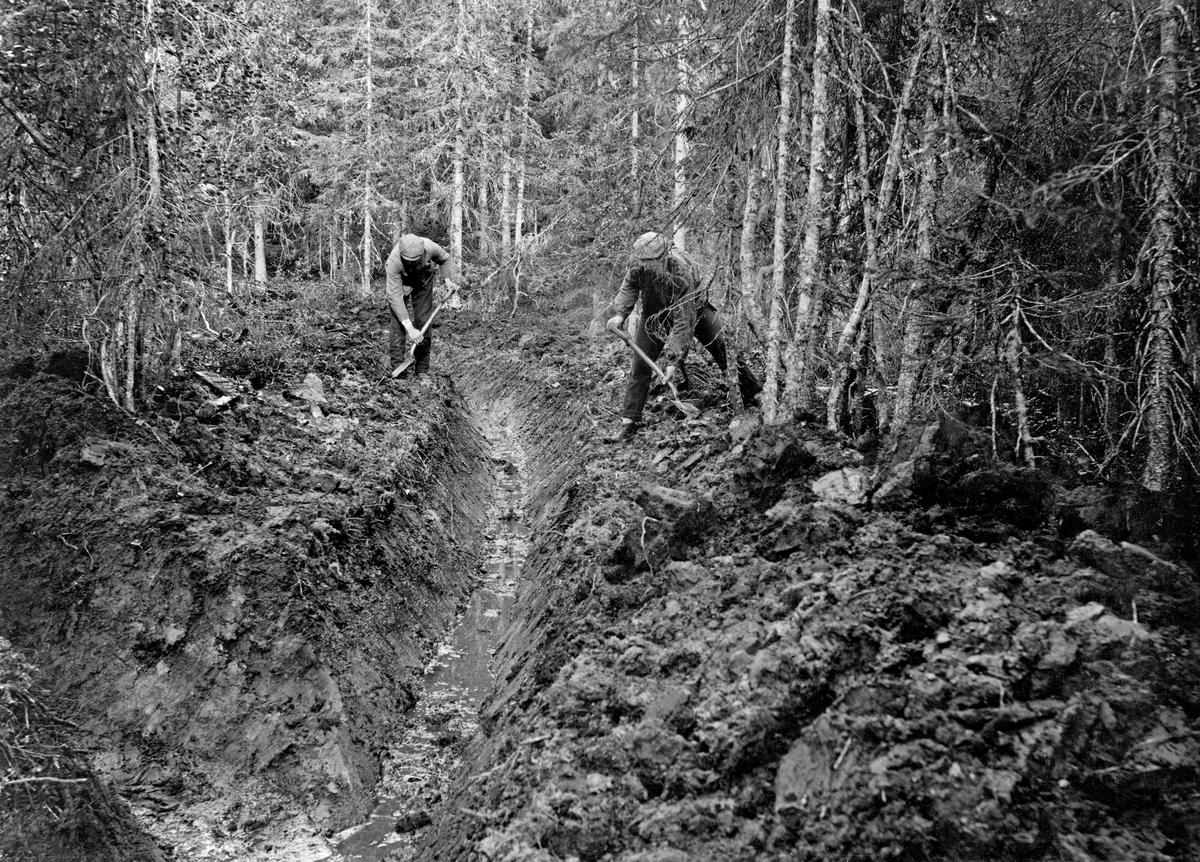 Avgrøfting av vassjuk skogsmark med tett granbestand.  Det er gravd to 60-70 centimeter djupe grøfter i steinfri jord med torvlag av betydelig tjukkelse.  Grøftene møtes i forgrunnen av bildet.  Massen er kastet opp på grøftenes skuldre, men på bildet arbeider to menn med spader med å kaste moldjorda lengre unna.