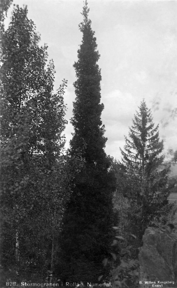 Stormograna i Rollag i Numedal (Buskerud).  Dette var ei uvanlig rett, tettvokst og finkvistet gran, ei såkalt søylegran, som skilte seg markant fra de mer grovkvistete granene, som vi ser et eksemplar av til høyre i bakgrunnen.  Da forsøksleder Tollef Ruden skulle etablere et fagmiljø for skoglig vekstforedling i Norge etter 2. verdenskrig var han svært opptatt av slike søylegraner, fordi de var lange, småkvistete og smale.  I den grad formen var arvelig betinget mente han at frø og stiklinger fra slike trær burde danne grunnlag for det nye kulturskogbrukets planteproduksjon.  På den måten så han for seg at han skulle finne fram til trær med form og vekstegenskaper som var attraktive for den skogbaserte industrien, og som (på grunn av søyleformen med korte greiner) kunne stå tett på plantefeltene, slik at en kunne oppnå stor produksjon av nyttbart virke per arealenhet.