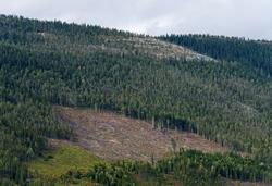 Hogstflate i ei skogli på «Baksida», vestsida av Gudbrandsda