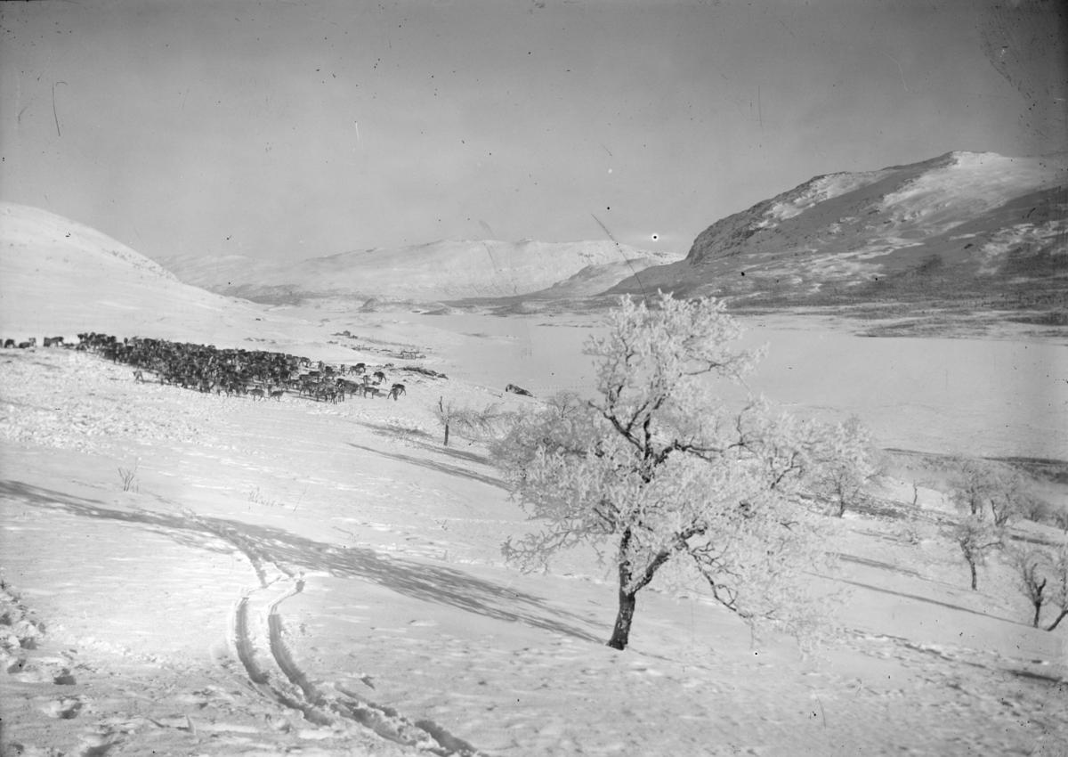Jotunheimen, stor reinsflokk ved Gjendehalsen, vinterlandskap