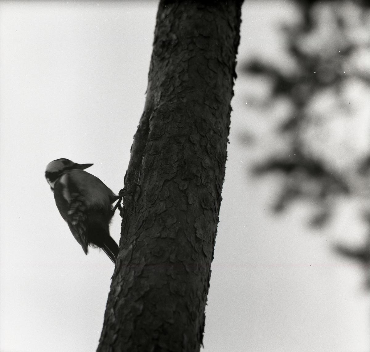 En större hackspett håller sig fast ett träd med klorna den 1 april 1956.