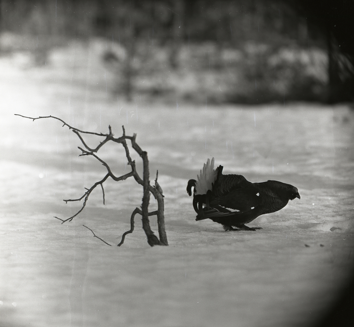 En orre spelar på snötäckt mark intill några trädgrenar i mars 1961.