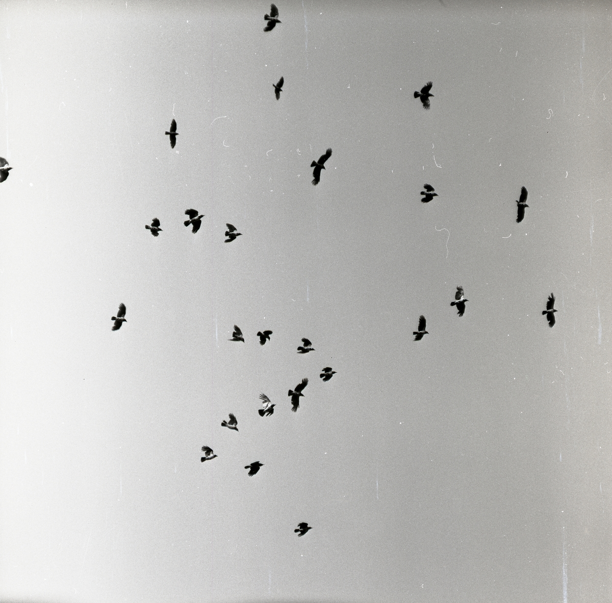 En flock kråkor flyger ovanför fotografen.