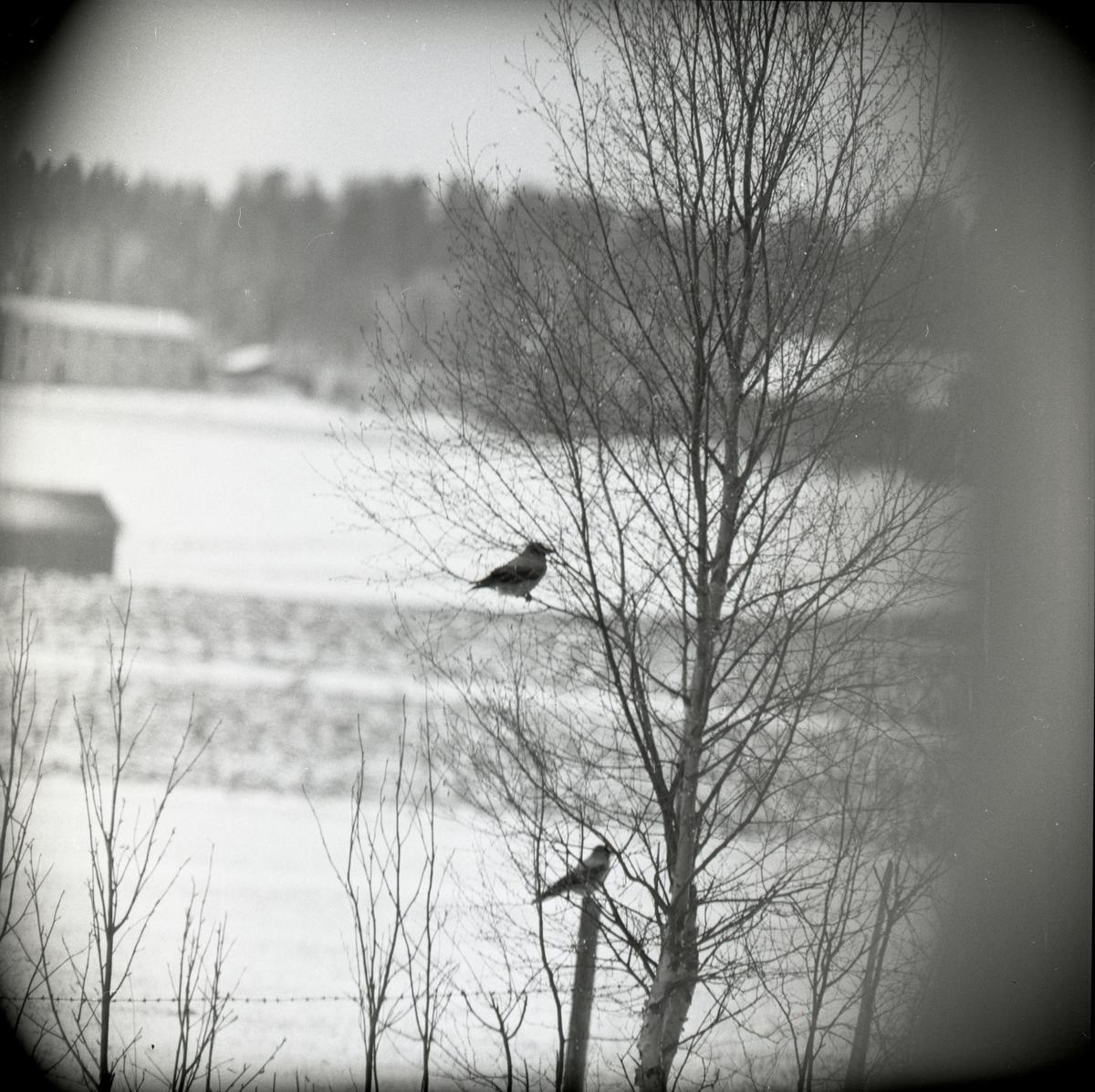 En kråka sitter på en stolpe och en annan sitter i en björk den 25 april 1960.