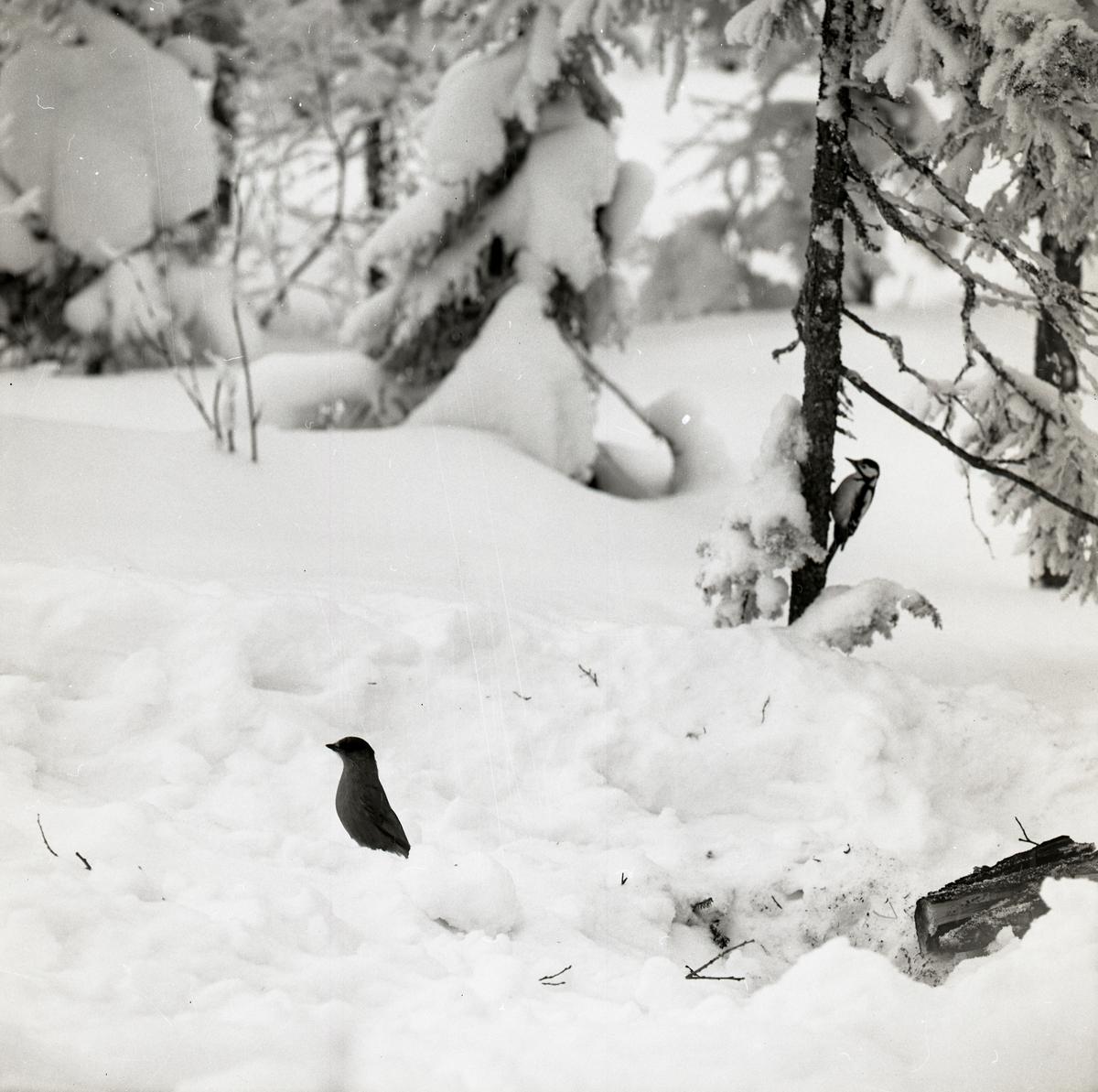 En lavskrika i snön och en större hackspett på ett träd vid Hälsen den 24 februari 1970.