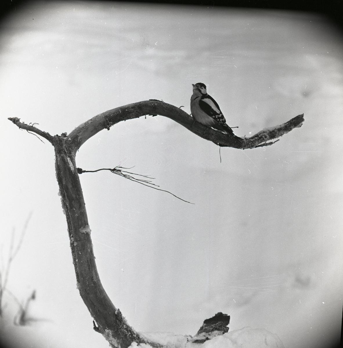 En större hackspett sitter på en böjd trädgren 1962.