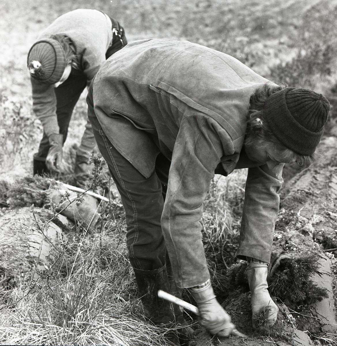 Två personer sätter plant vid Norgrens i Ulva, maj 1959.