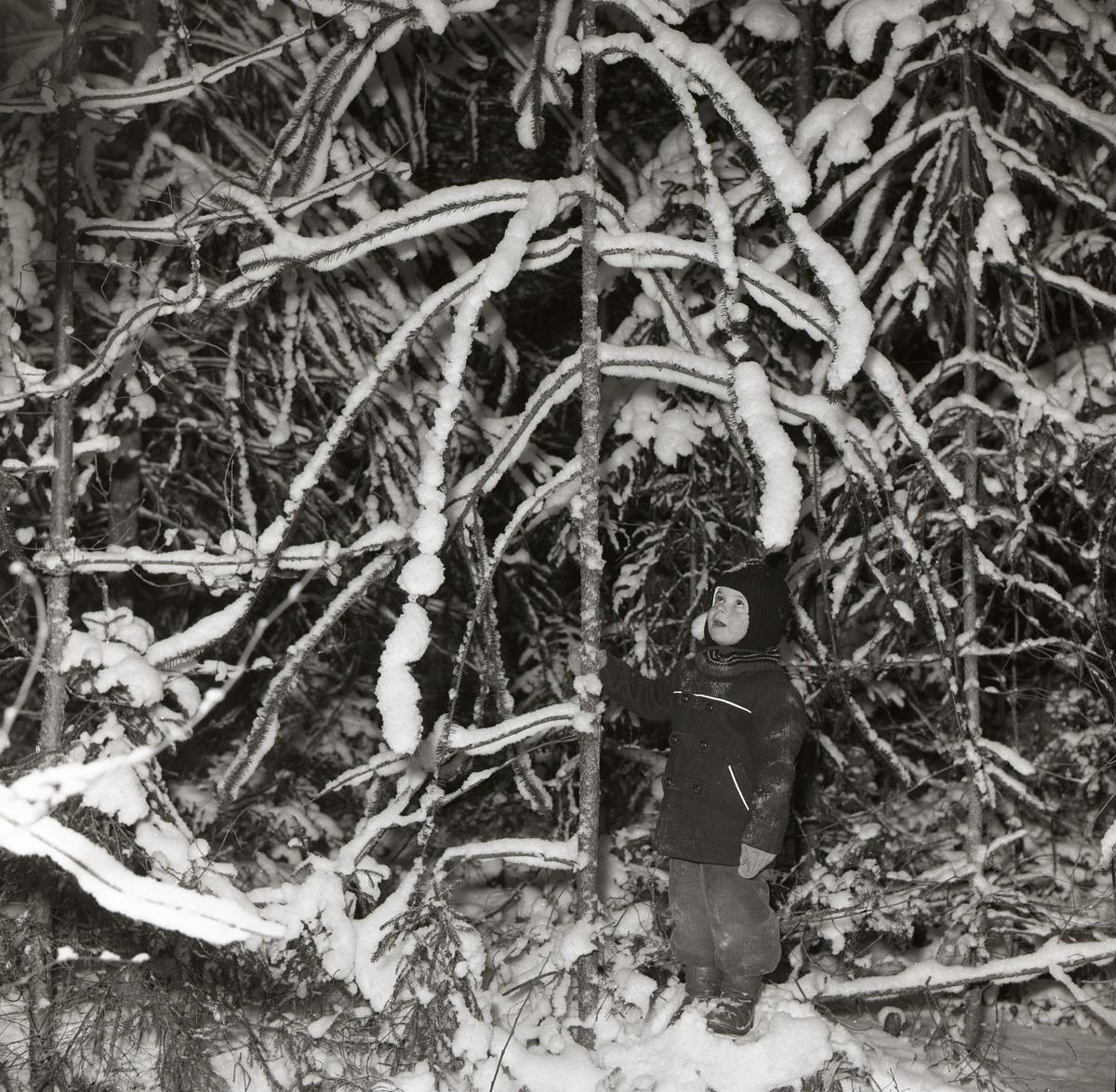 En pojke står vid en gran och håller om stammen med ena handen, 13 januari 1958.