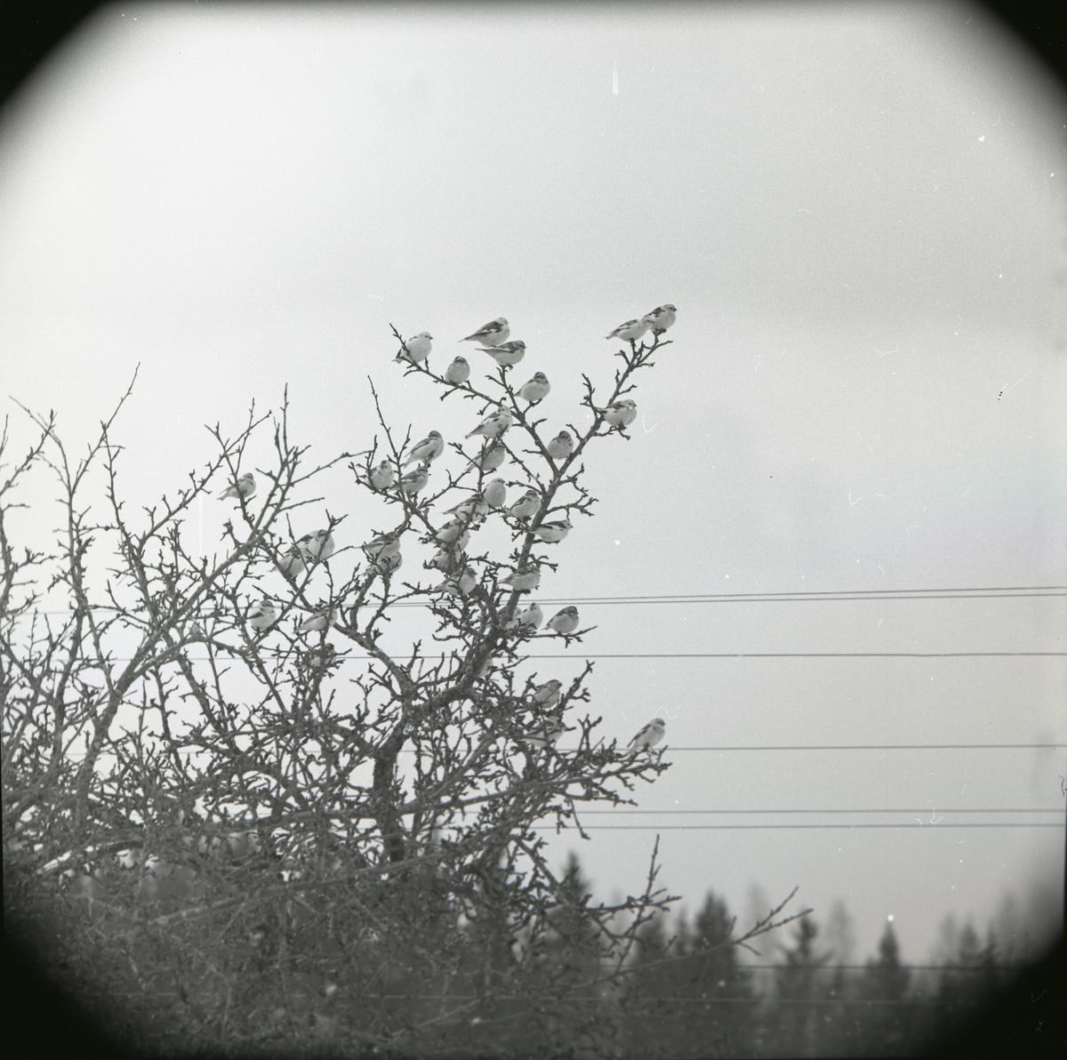 En flock snösparvar sitter i ett träd i Finnfara under vårvintern 1966.