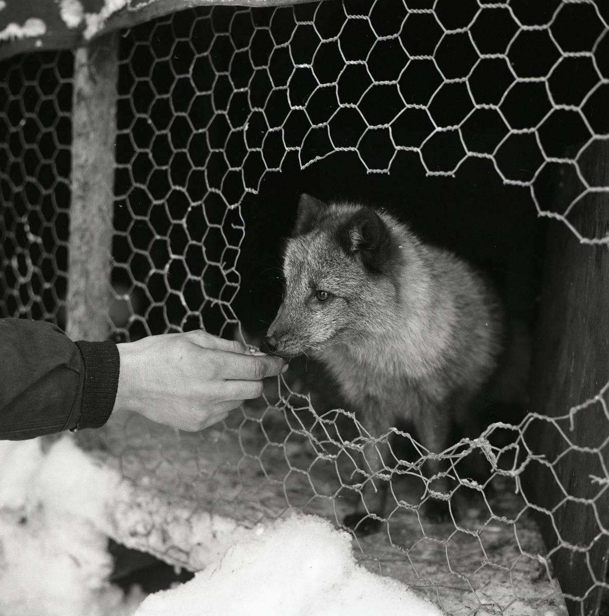 En fjällräv nosar nyfiket på en framstäckt hand, Arvidsjaur 5 december 1959.