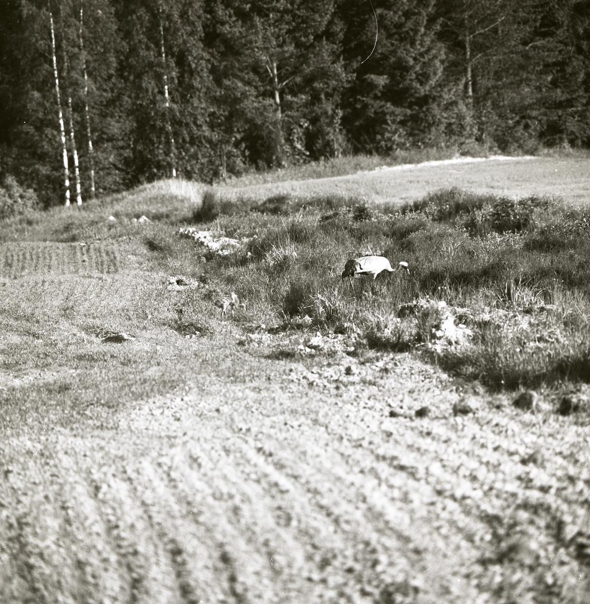 En trana med ungar går i högt gräs intill en skog, 22 juni 1983.