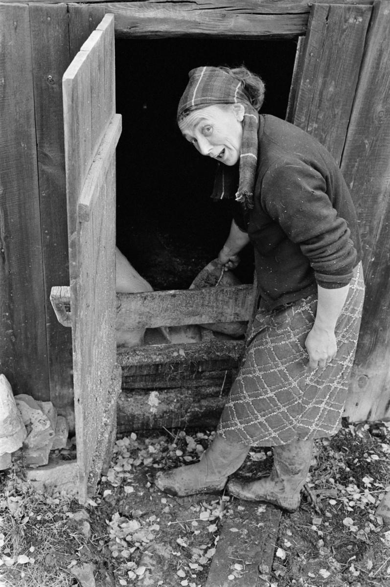 En kvinne steller en gris som står i et grisefjøs.