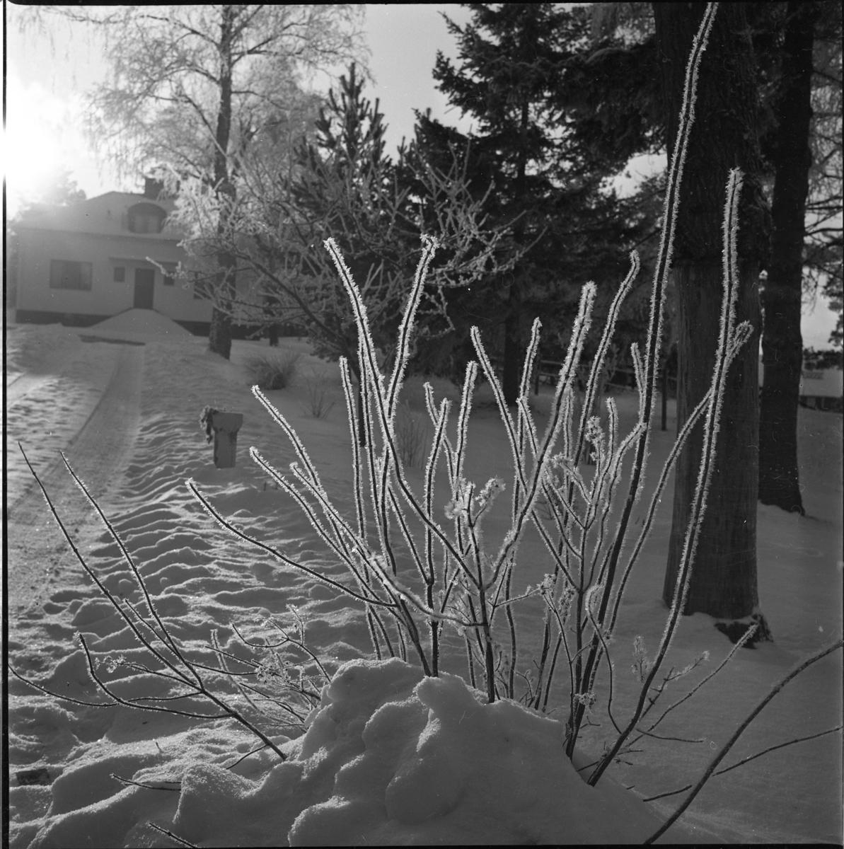 Vinterlandskap. En uppfart mot ett hus i motljus med en frostig buske i förgrunden.