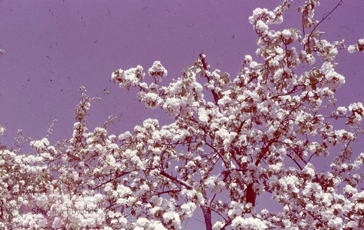 Blomstrende trær