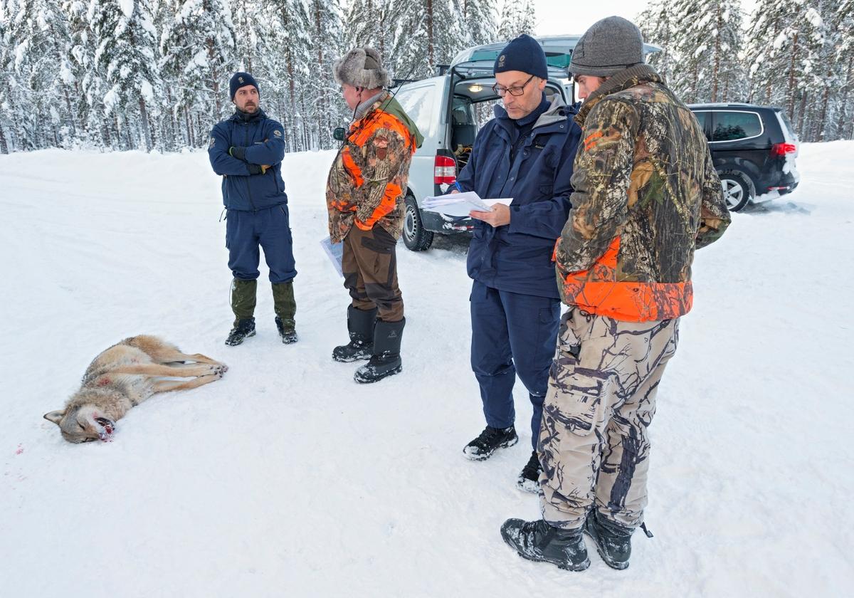 Fra ulvejakta 2018. Jakt på ulv som lever vekselsvis i og utenfor ulvesonen i Hedmark. Ulvejakt. Jakt på rovdyr. Rovdyrjakt. Ei ulvetispe fra Julussaflokken ble skutt i Evenstadlia i Stor-Elvdal på jaktas femte dag, og Statens Naturoppsyn kom for å foreta regulær kontroll av den skutte ulven samt forholdene rundt jakta. Kontrollen ble foretatt av rådgiver Espen Marker (til venstre) og seniorrådgiver Jan Huseklepp Wilberg (nr. to fra høyre). Jaktleder Arne Sveen (nr. to fra venstre) og jegeren som skjøt ulven var også tilstede under kontrollen som foregikk ved Storsjøvegen noen timer etter alven var skutt. Ulvetispa veide 36,6 kg og var alfatispa i Julussareviret. Den ble felt av en av jegerne som sporet den, etter at jaktlaget først hadde lokalisert den og drøyt 70 jegere var postert i terrenget. SNO. Alfatispe. Ledertispe. Lisensjakt på ulv. Offisiellt besto Julussareviret før jakta av 6-7 individer.
