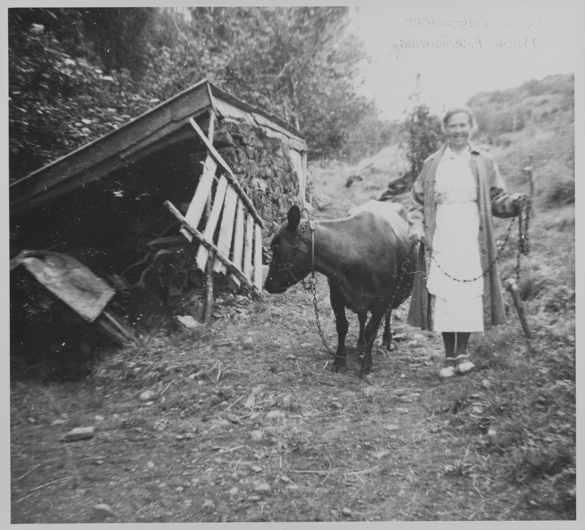 Dame med ku i kjetting på Lindland i Sokndal