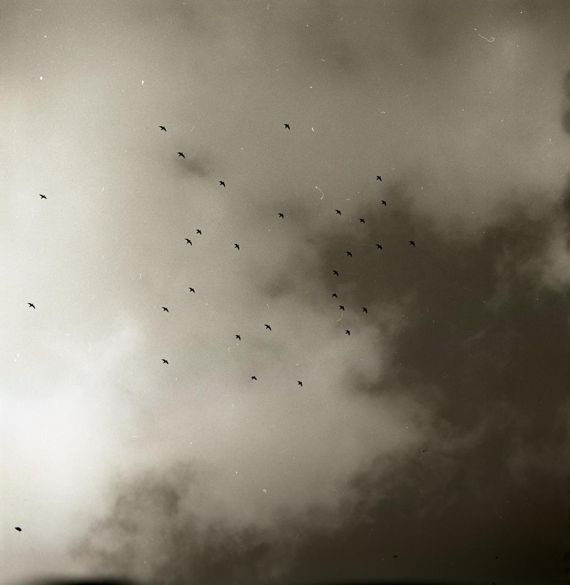 En flock ljungpipare flyger bland molnen, våren 1969.