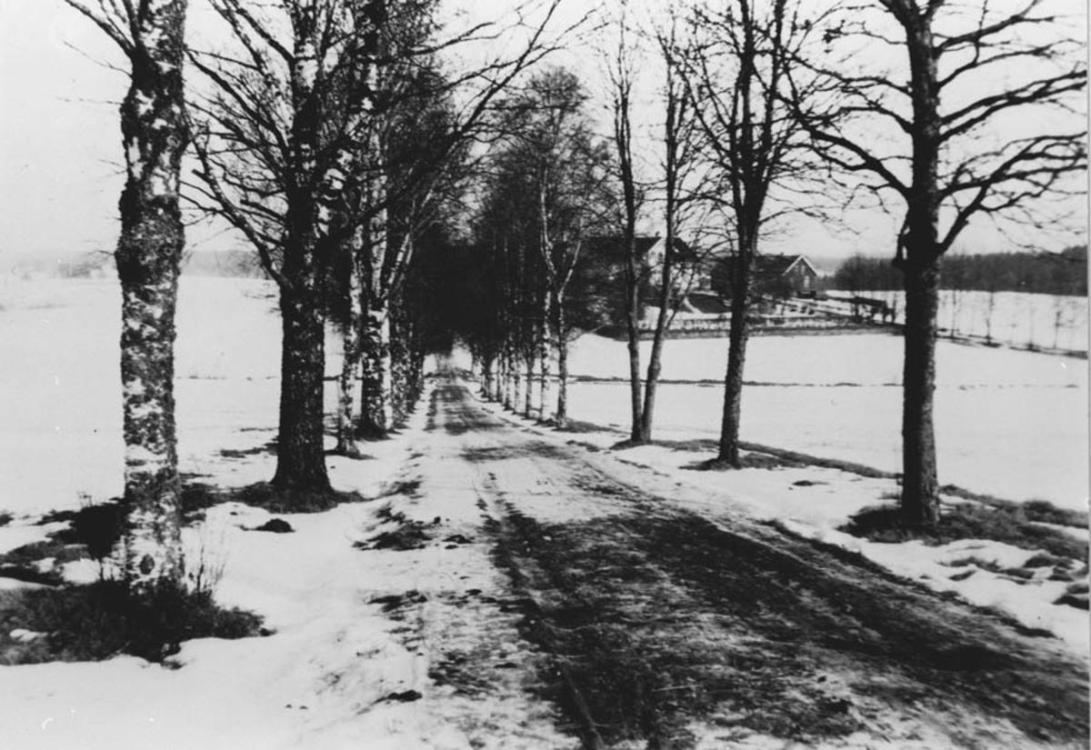 Den vestre bjerkealleen fra Kirkevn. ned mot Rullestad gård.