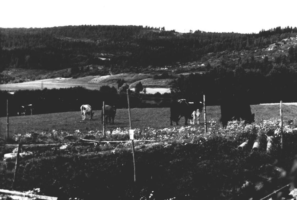 Beitende kyr på Guttarsrud.