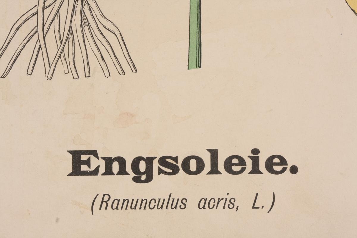 Engsolei