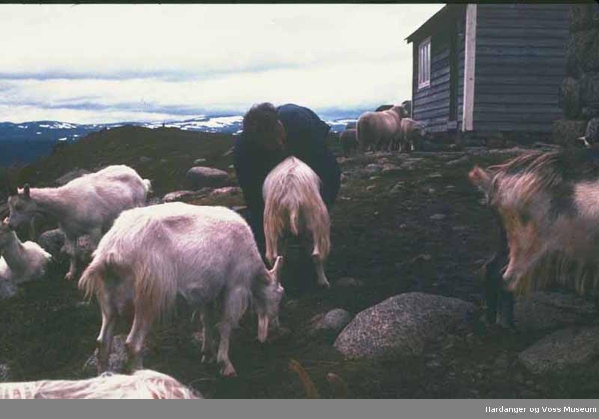 Mann, geiter, sauer, mjølking, hytte, stølshus, på fjellet. Jakob S. Røise på Steinstøl