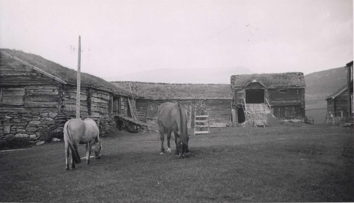 Gårdstun, nær Vognill, Lønset, Oppdal, Sør-Trøndelag. Beitende hester på tunet.