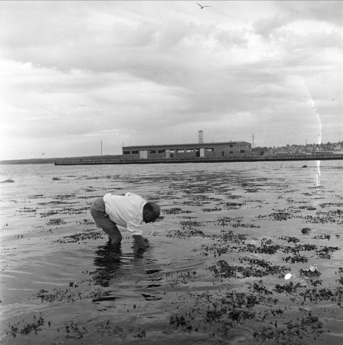 Fra Hortens 100-års jubileum, juli 1958. Mann ved havet.