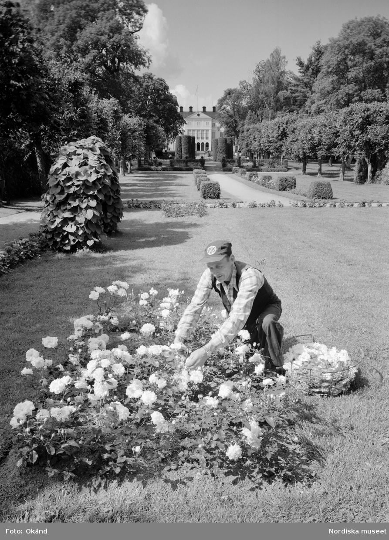Arbete i trädgården på Julita gård i Södermanland. En man plockar blommor, rosor, som han lägger i en korg. Stilträdgård.