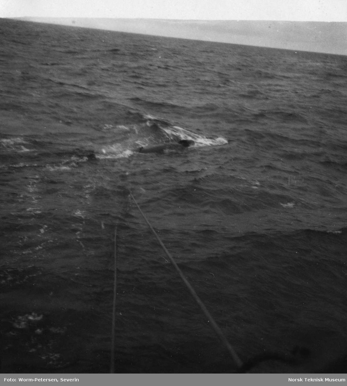 Sleping av hval etter skute