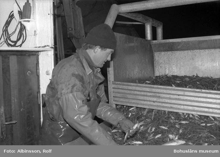 """Enligt fotografens noteringar: """"Harald Hansson vid sorteringsbordet.""""  Fototid: 1996-03-06."""